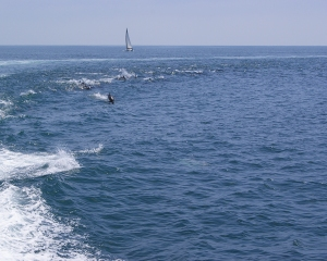 Catalina Dolphin jumping