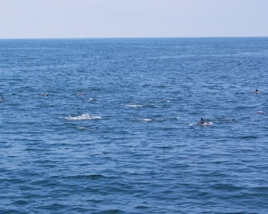 Catalina Dolphins following