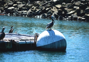 WW Pelican on buoy
