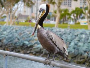 Dock-Pelican