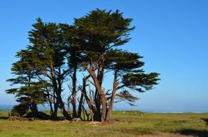 FB- BIg cypress tre