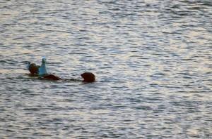 Morro- Otter