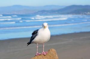 Morro--Sea Gull