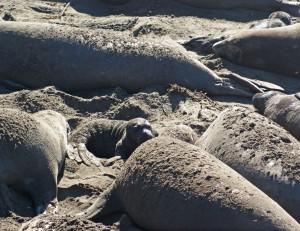 Cambria Baby seal
