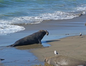 Cambria-Male seal