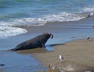 Cambria-Male seal