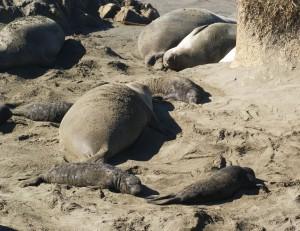 Cambria seals 1