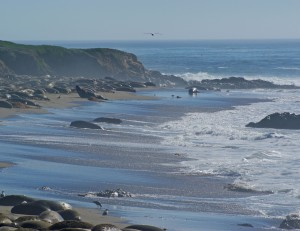 Cambria--Seals on Beach 3