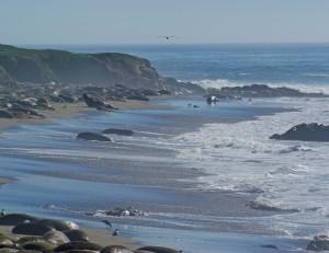Cambria--Seals on Beach 3