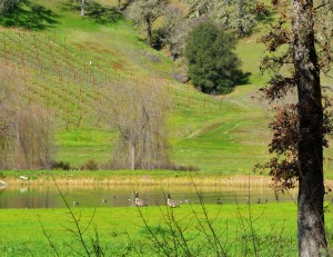 Mendo-Ducks near grape vines