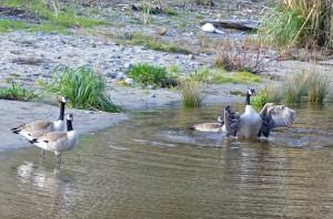 Mendo-Geese 2