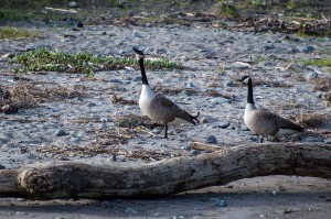 Mendo- Geese