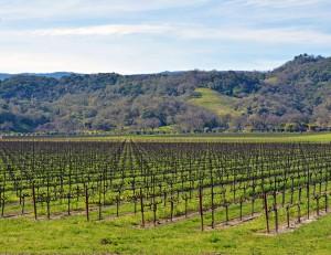Mendo-Wine vines