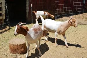 Myrtle Goats