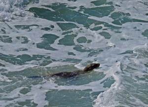 Redondo-Baby Seal