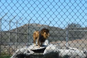 Lions 11 Male lion