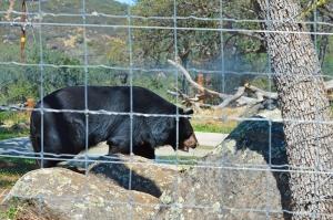 Lions 15 Black bear
