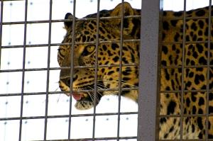Lions 7 Leopard 2