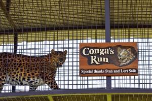 Lions 8 Congas run