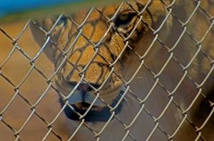 Lions face close