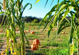 Pumkins in field