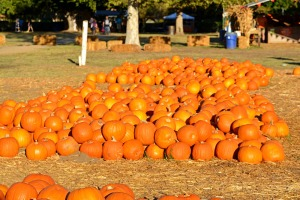 Rows of pumkins
