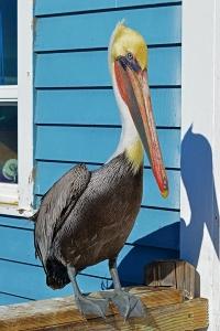Pelican 2 900