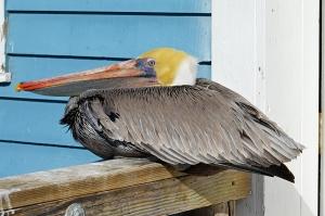 Pelican 900