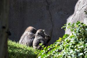 Baby Gorilla 800
