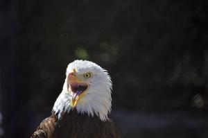 Eagle smiling