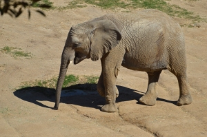 Elephant 800