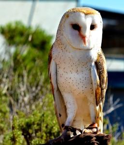 Owl 800