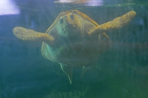 Turtle front view