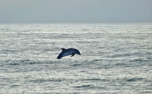 Dolphin flying