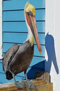 Pelican Oceanisde