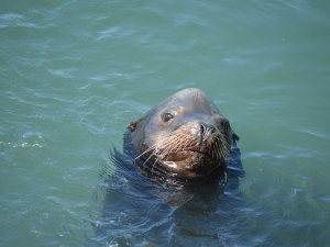 Seal poking head out of water