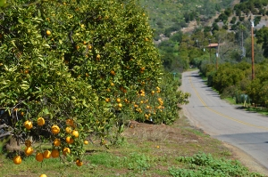 orange-groves
