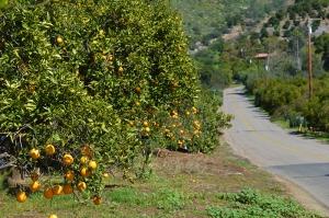 orange-groves